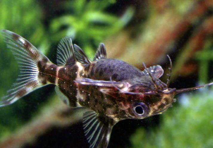 Fiederbartswels schwimmt im Aquarium