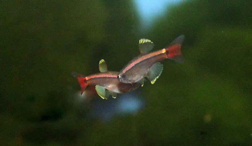 Paarung von Kardinalfische im Aquarium