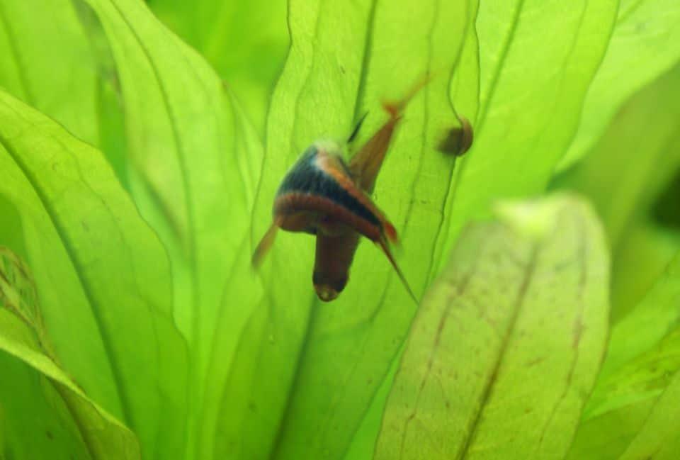 Keilfleckbärblinge pflanzen sich im Aquarium fort