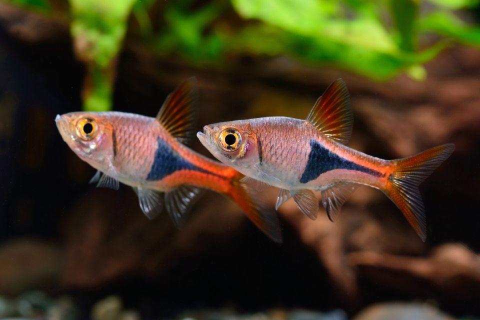 Gruppe Keilfleckbärblinge schwimmen im Aquarium