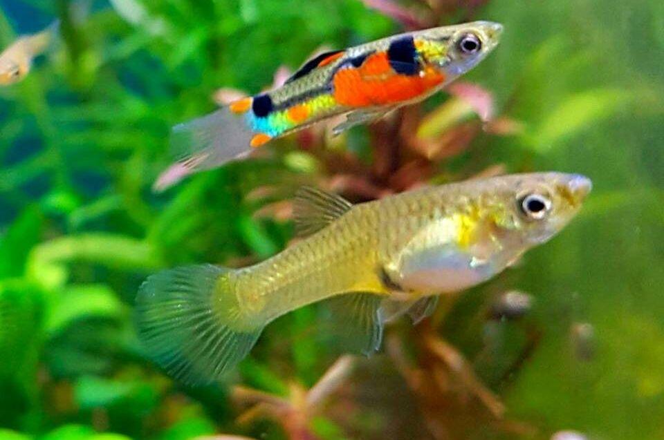 Endler Guppys im Aquarium züchten