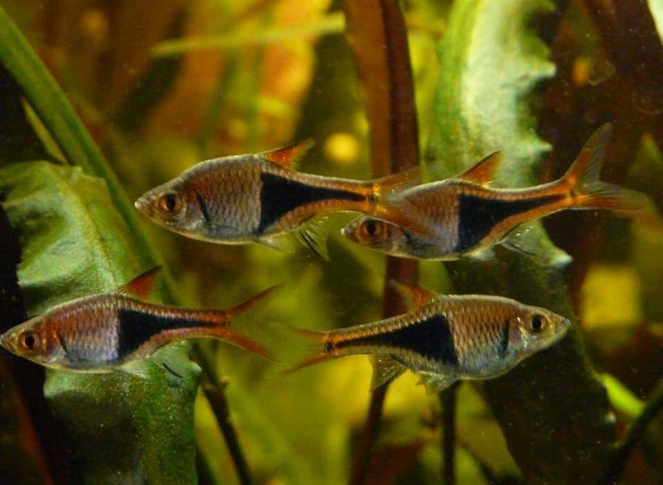 Keilfleckbärblinge im Aquarium
