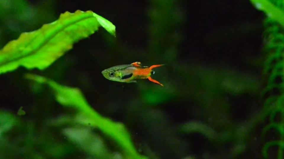 endler-guppys-im-aquarium