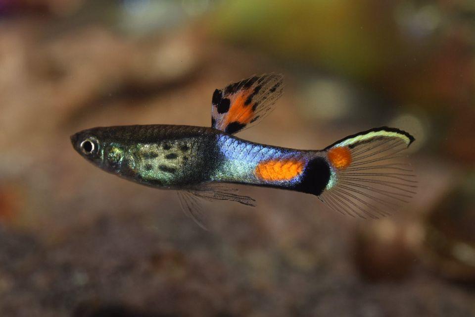 Endler Guppy mit schöner Färbung im Aquarium