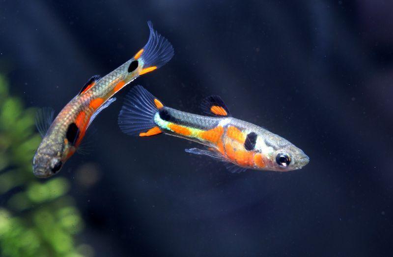 Zwei Männliche Endler Guppys im Aquarium