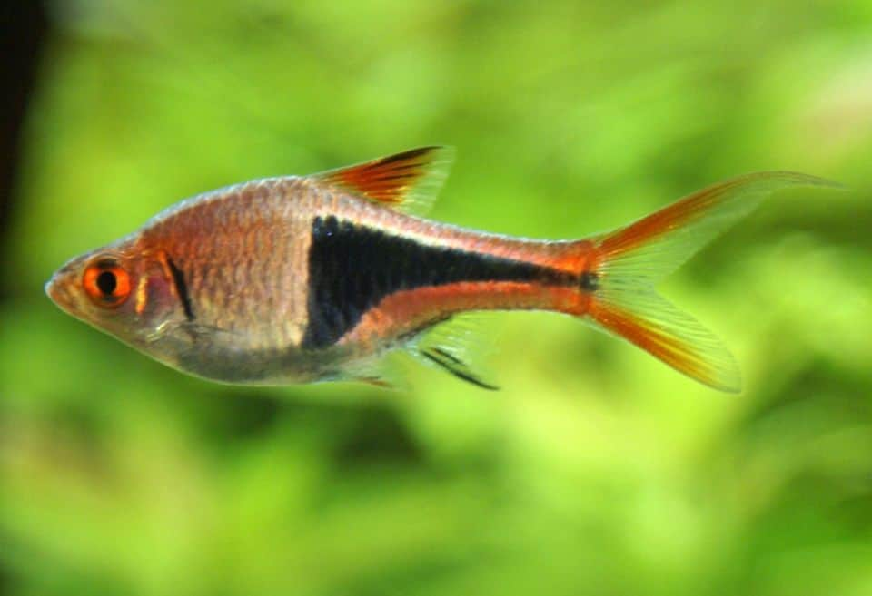 Keilfleckbärblinge im Aquarium halten