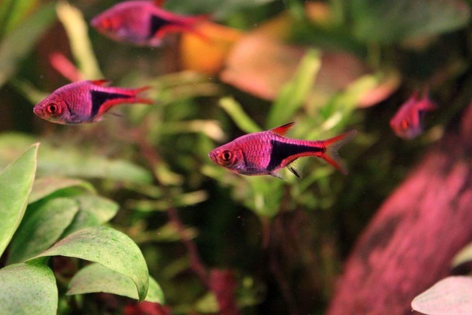 Espes Keilfleckbärblinge in rot im Aquarium
