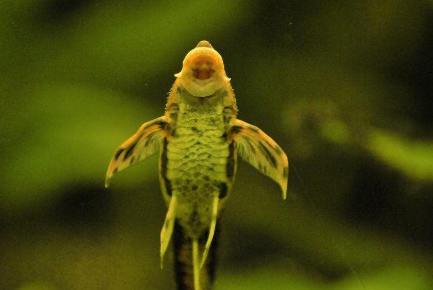 Hexenwels saugt an der Aquarien-Scheibe