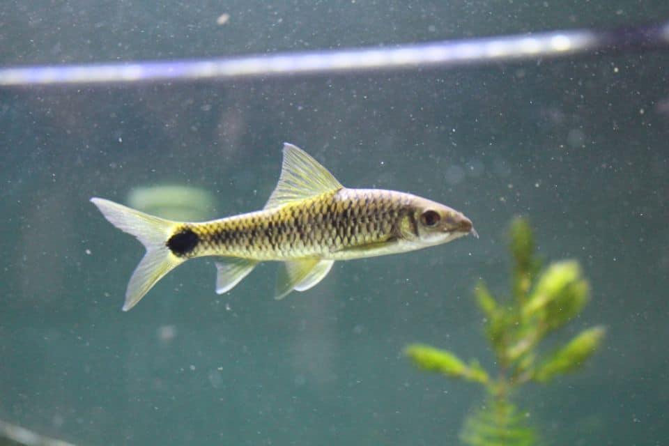 Netzpinselalgrenfresser als Putzerfisch im Aquarium