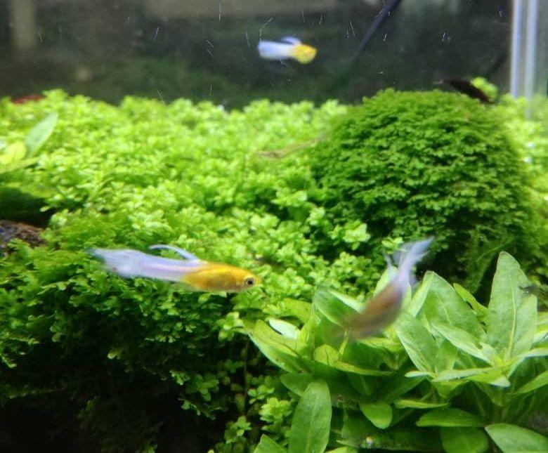 Weißschwanz Endler Guppy im Aquarium
