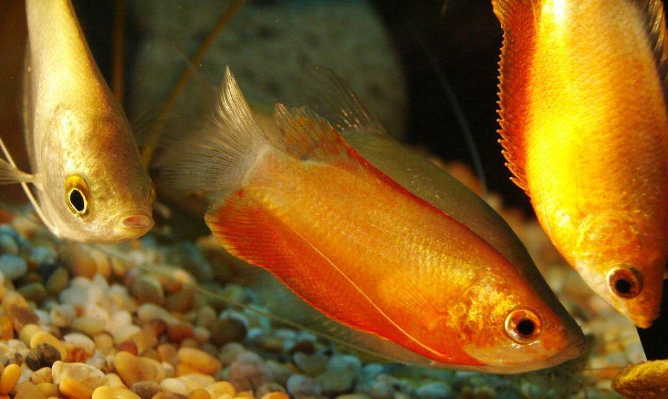 Gruppe Honigguramis im Aquarium