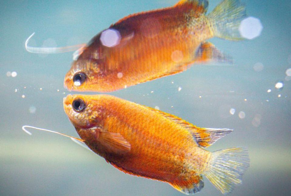 Honigguramis im 100 Liter Aquarium halten
