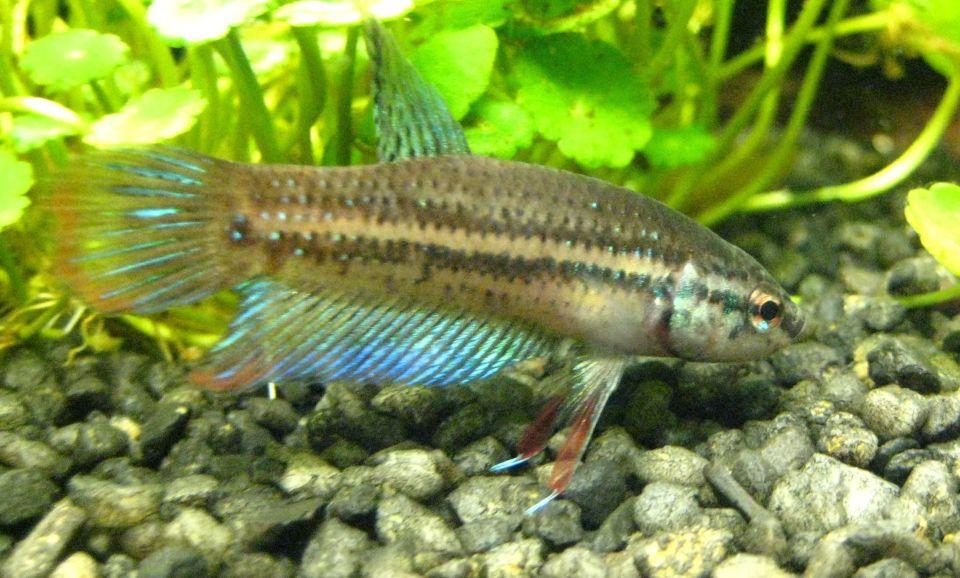 Friedlicher Kampffisch im 60 Liter Aquarium halten