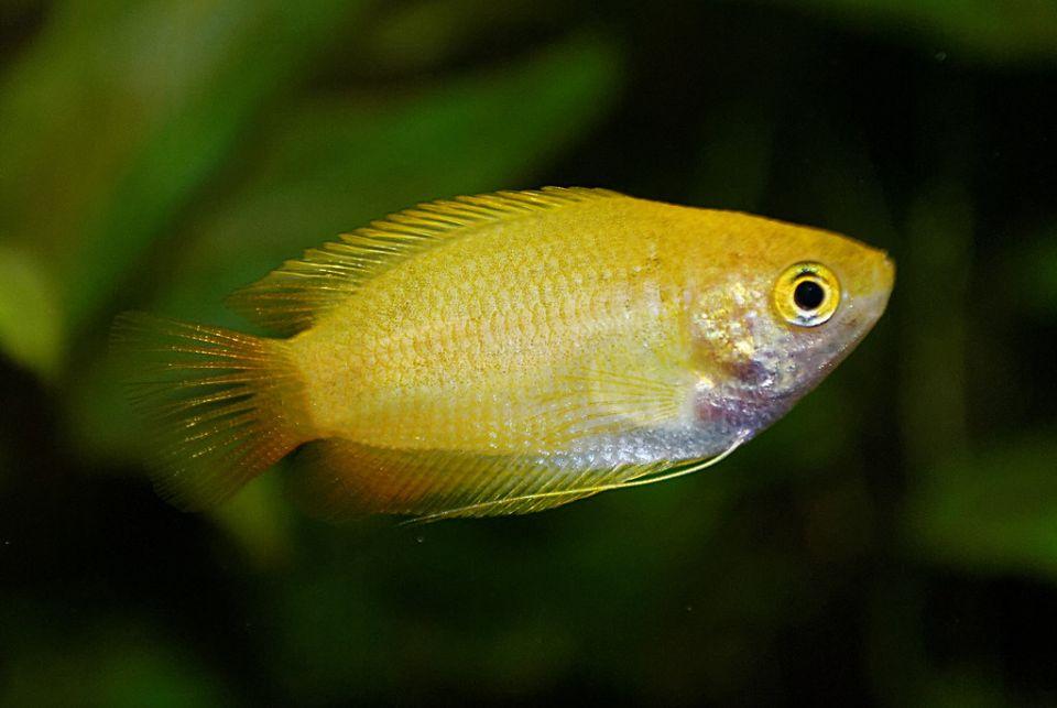 Geschlechterunterschied goldene Fadenfische