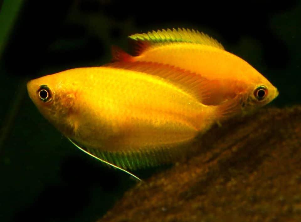 Pärchen Honigguramis im Aquarium