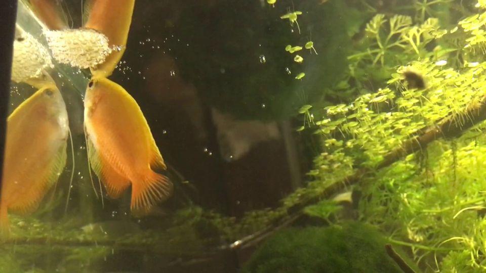 Goldener Fadenfisch mit Nest im Aquarium