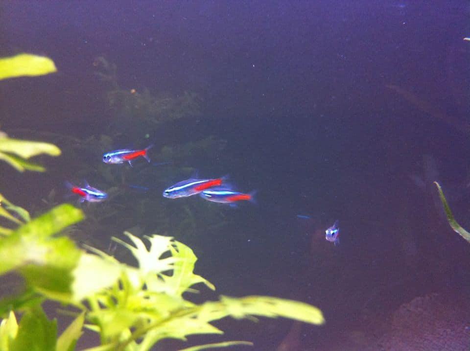 Neonsalmler im Aquarium züchten
