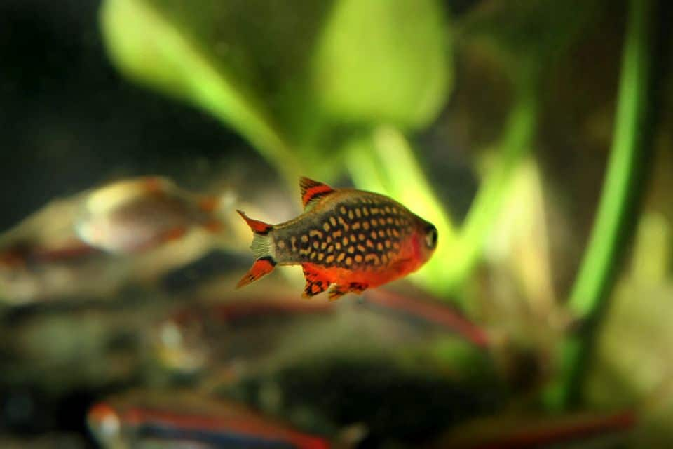 Perlhuhnbärblinge im 60 Liter Aquarium halten