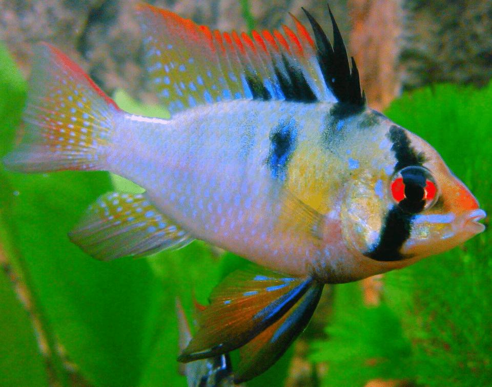 Schemetterlingsbuntbarsche Männchen im Aquarium