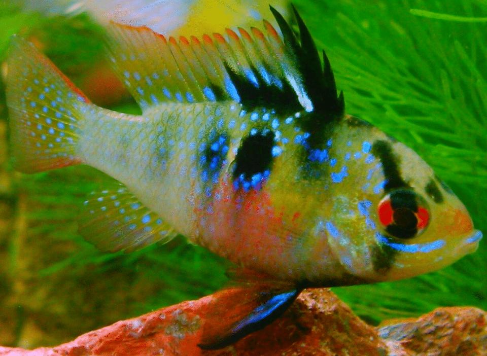 Schemetterlingsbuntbarsche Weibchen im Aquarium