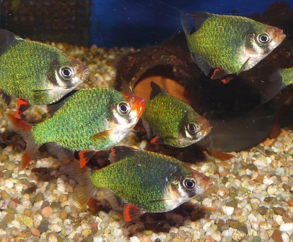 Moosbarbe im Aquarium
