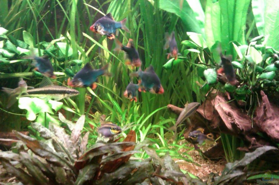 Moosbarbe im Aquarium vergesellschaften