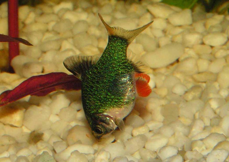 Moosbarbe tümpelt im Aquarium