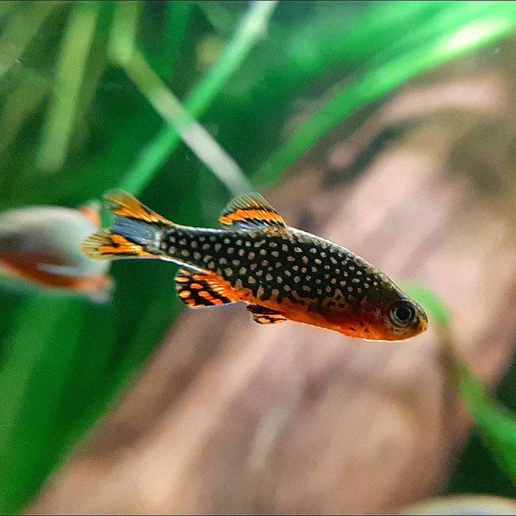 Wasserwerte für Perlhuhnbärblinge im Aquarium
