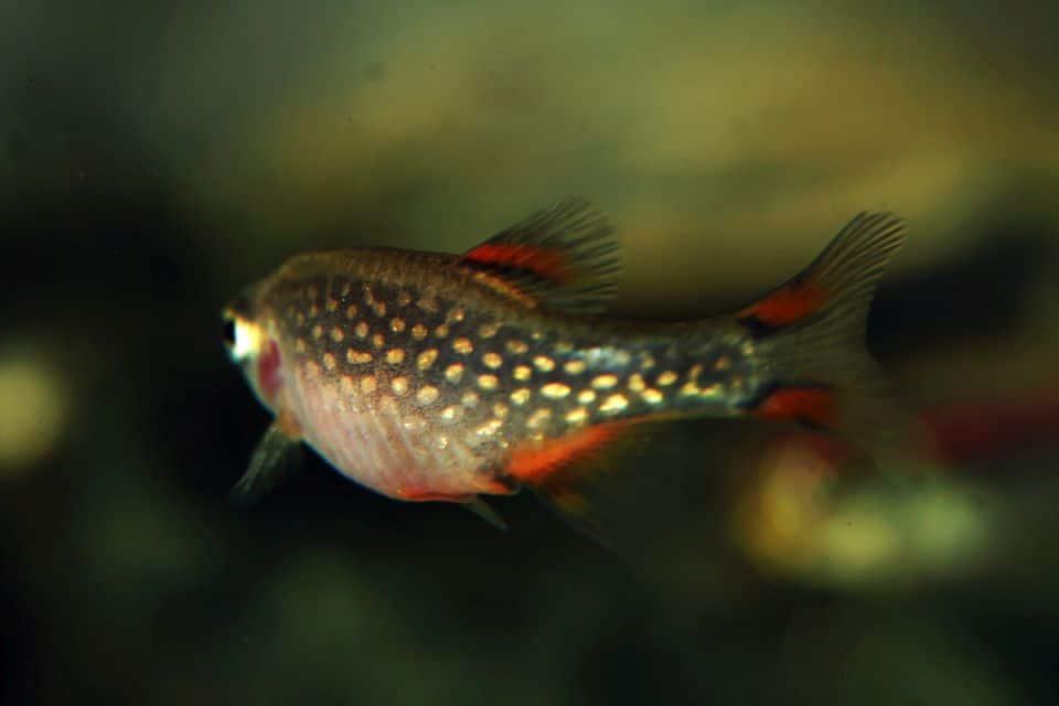 Perlhuhnbärblinge Weibchen trächtig im Aquarium